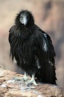 Grand Canyon Condor- click our buttons above for reservations